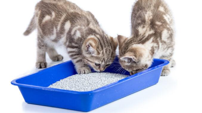 Zwei Kitten beim Katzenklo Training