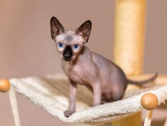 Junge Colorpoint Sphynx Katze in ihrer Katzenliege