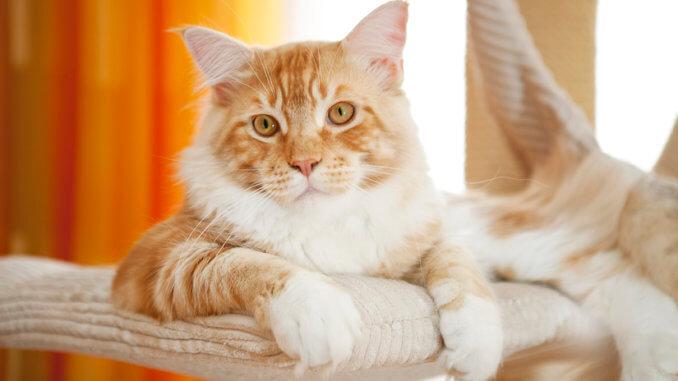 Maine Coon Kitten auf einer Katzenliege