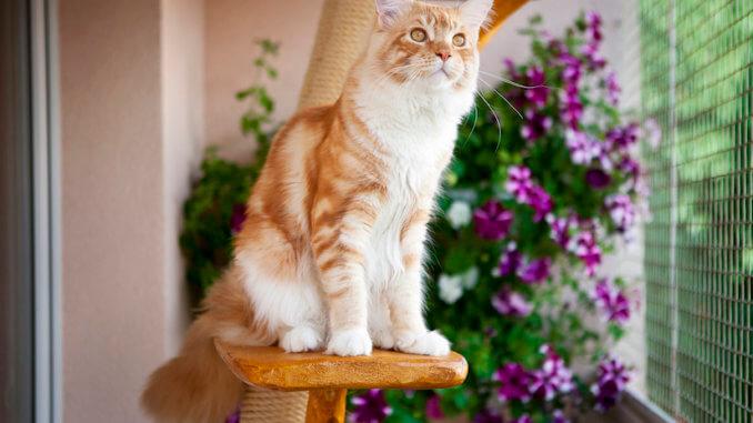 Orange weiße Katze auf der Terrasse auf einem deckenspanner Kratzbaum