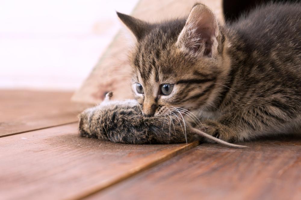 Katze frisst Maus und kotzt