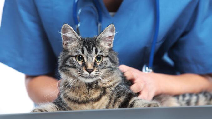 Katze mit Schilddrüsenüberfunktion