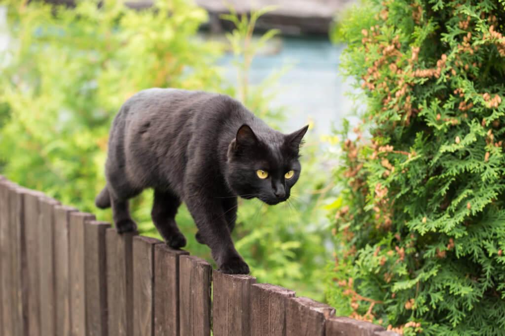Bombay Katze auf dem Gartenzaun