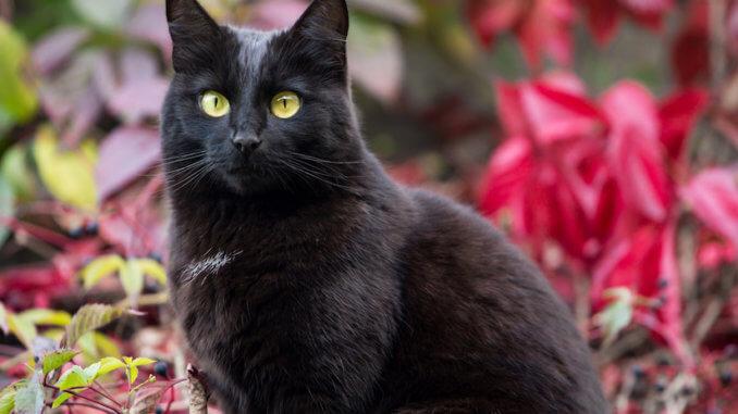 Bombay Katze im Garten
