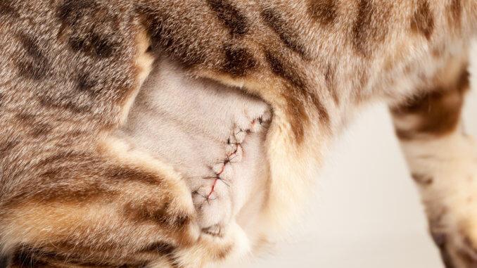 Katze hat nach Darmverschluss genähten Bauch