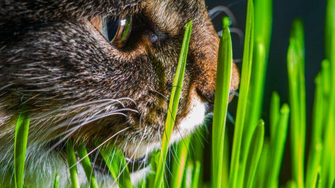 Katze frisst Gras um sich zu erbrechen