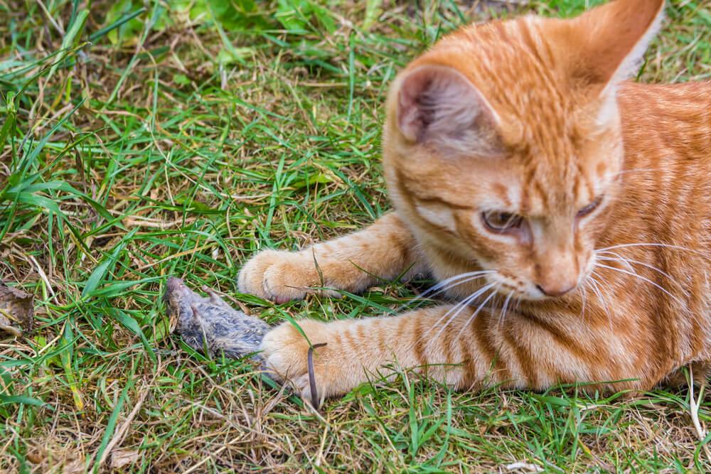 Katze hat Maus mit Toxoplasmose gefangen