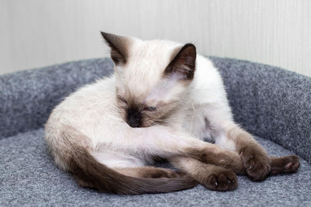 Katze leckt sich kahl bei Fellpflege