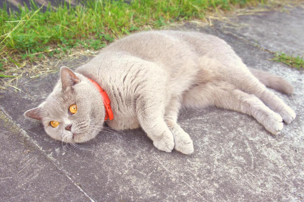 Katze mit Flohhalsband