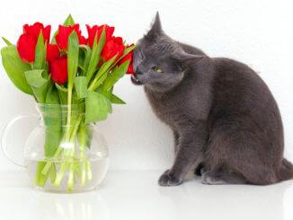 Katze isst Tulpen