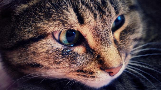 Katze mit tränendem Auge