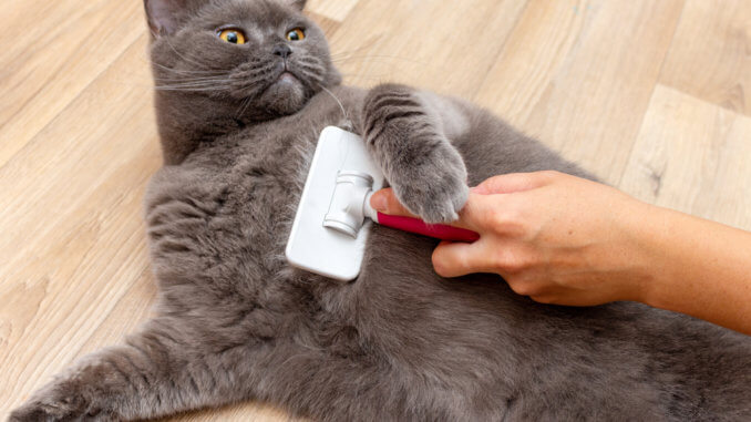 Katze verliert Fell beim Bürsten