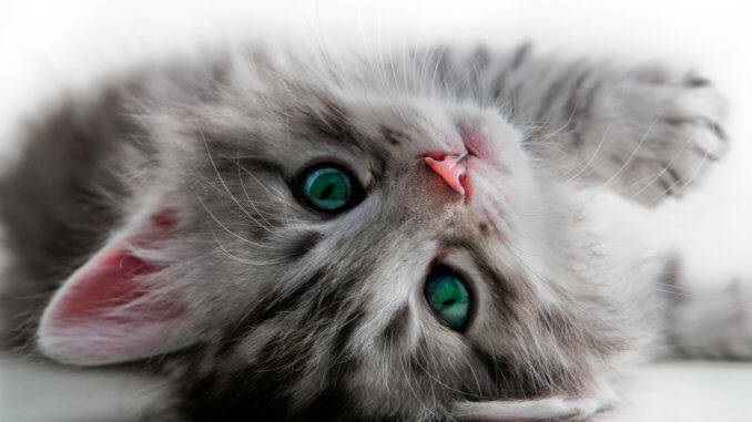 Katzenbaby noch nicht ausgewachsen