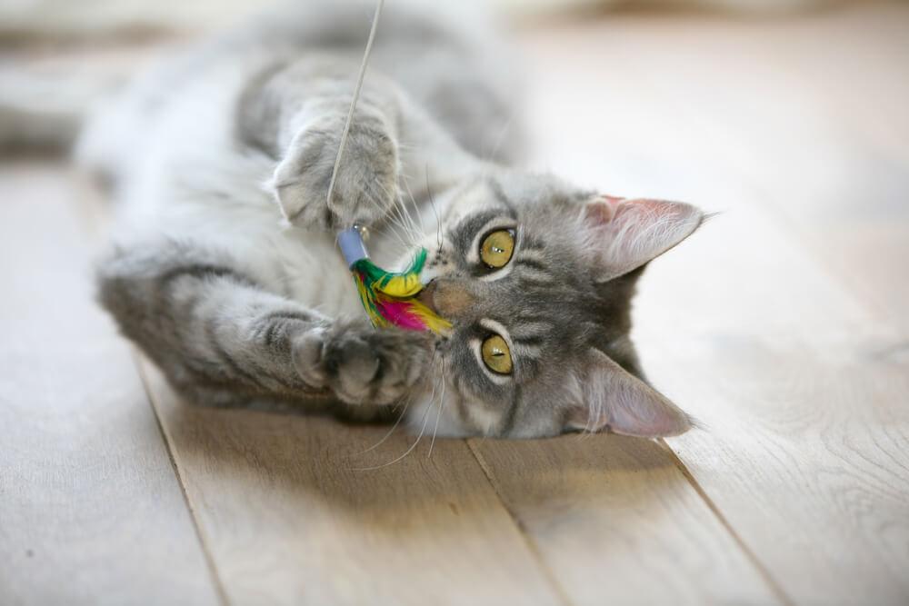 Spielende erwachsene Katze